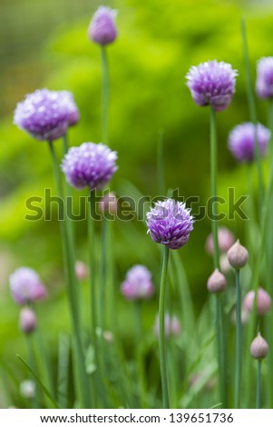 Close up of the flower of the herb chive with shallow depth of field - stock photo