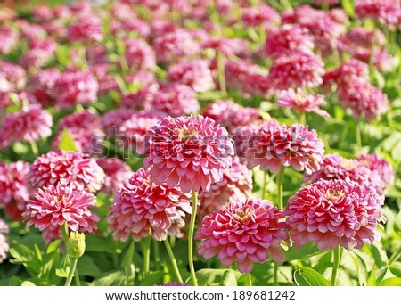 Close-up of the garden zinnia.  - stock photo