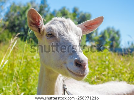 Close up of the goat's head in summer - stock photo