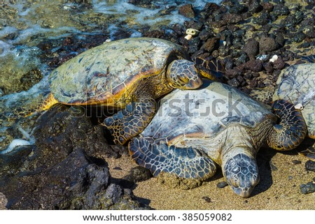 Close-up of the green sea turtles  on the rocky volcanic beach in Hawaii - stock photo