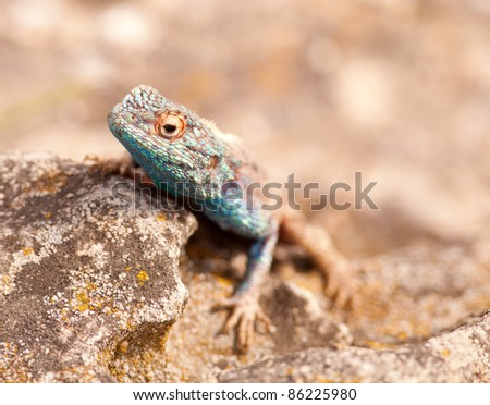 Close-up of the head of a blue head lizard peeping over a rock