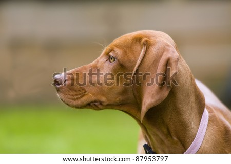 Close up of the head of a Hungarian Vizsla dog.  This is a female puppy wearing a collar. - stock photo