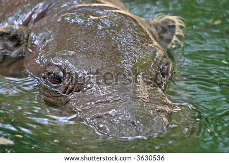 Close up of the head of a partly submerged hippopotamus