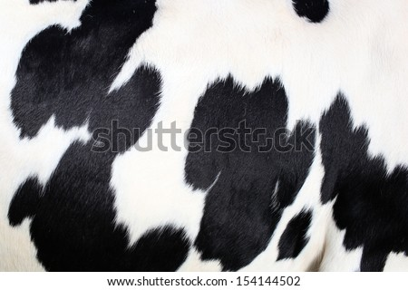 Close up of the hide of a Holstein cow - stock photo