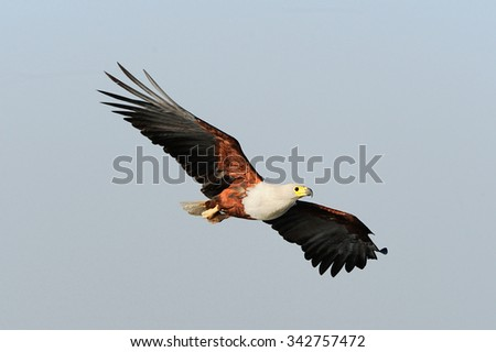 Close-up of the majestic African Fish Eagle flying against blue sky - stock photo