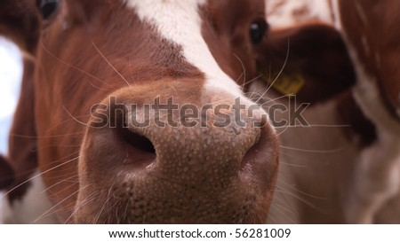 Close-up of the nose of a cow