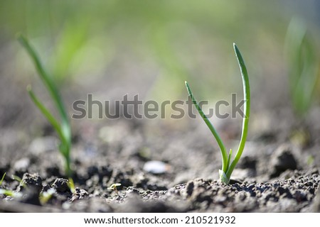 close-up of the onion plantation in the vegetable garden - stock photo