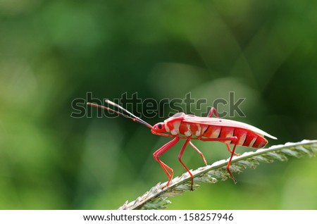 close up of the red hemipteran bug on the grass shoot - stock photo