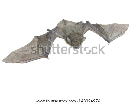 close up of the small bat. Isolated on white - stock photo