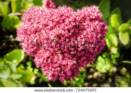 Close small pink white flowers heart stock photo 724475695 close up of the small pink and white flowers of a heart shaped ice plant mightylinksfo