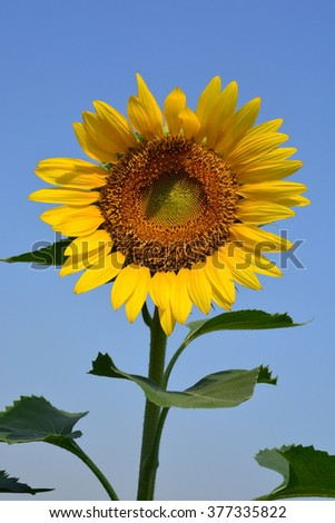 Close up of the sunflower. The common sunflower ( helianthus annuus)