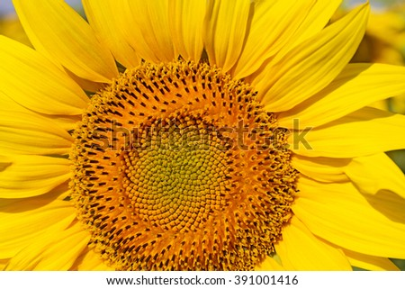 Close up of the sunflower. The common sunflower ( helianthus annuus), is an annual species of sunflower grown as a crop for its edible oil and edible fruits.