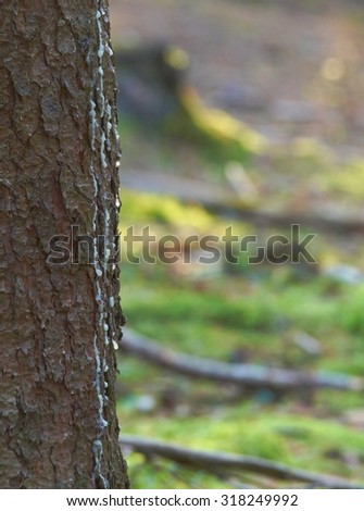 Close-up of the trunk of spruce with blurred background from green forest vegetation