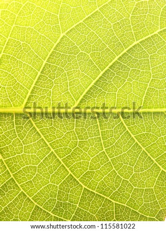 Close up of the walnut leaf texture - stock photo