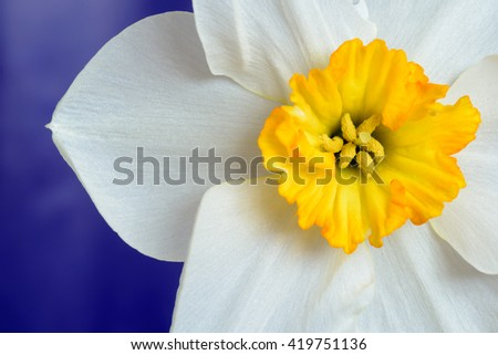 Close up of the white petals and yellow stamen of a Narcissus Daffodil with a defocused blue background. Copy space area for botanical gardening or horticulture ideas and designs. - stock photo