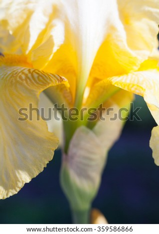Close up of the yellow iris flower.