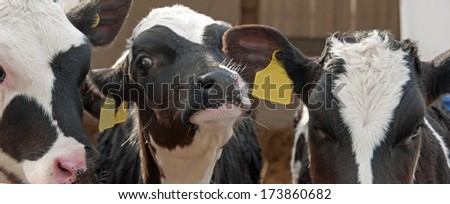 Close up of three friendly calves - stock photo