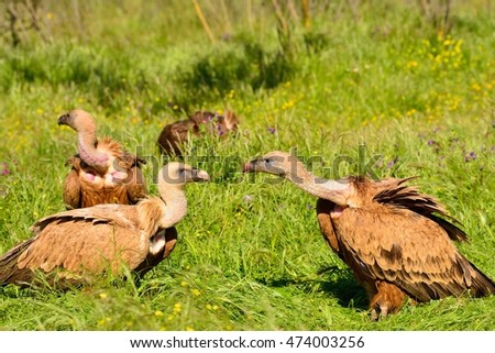 Close-up of three wild Eurasian Griffons  relaxing under the sun on grass