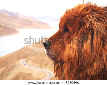Close up of Tibetan mastiff with the Yamdrok Lake in the background, Tibet, China. Selective focus.