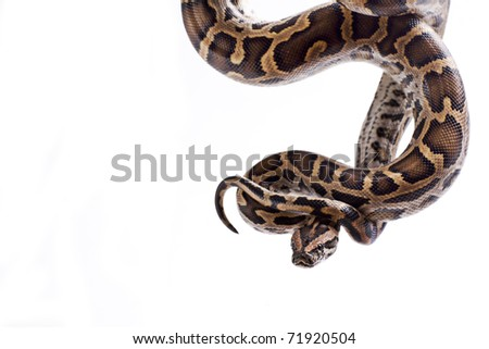 Close up of tiger python (Python molurus, Burmese Python) on white background isolated, a lot of copyspace available, macrophotography - stock photo