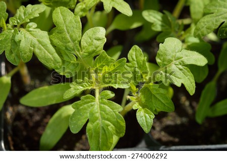 Close-up of Tomato seedlings, organic gardening. Selective focus. Top view. - stock photo