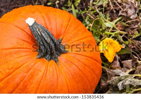 Close up of top of pumpkin sitting next to pumpkin blossom in field - stock photo