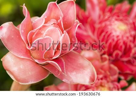 Close up of Torch ginger flower blossom, Etlingera elatior flowers family Zingiberaceae. - stock photo