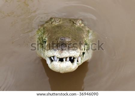 "close up of "" tornado "" a huge aggressive adult male costa rican american crocodile looking at camera, tarcoles river, jaco, costa rica - stock photo"