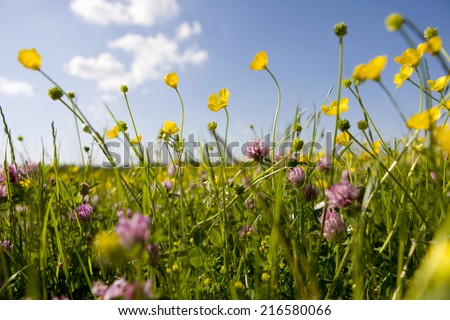 Close up of tranquil field of blooming buttercups - stock photo