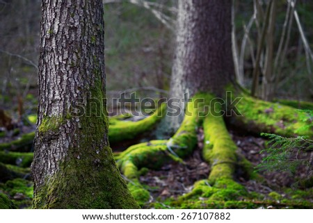 Close up of trunk of conifer tree  in wilderness area  in Scandinavia. Root covered in green fungus in background - stock photo