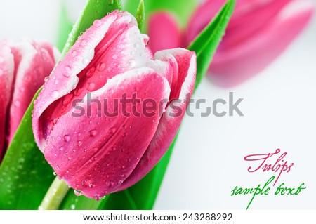 Close-up of tulip flower. - stock photo