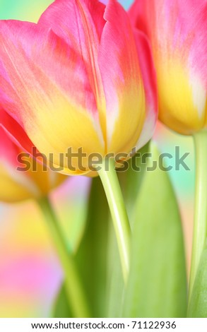 Close-up of tulip flower - stock photo