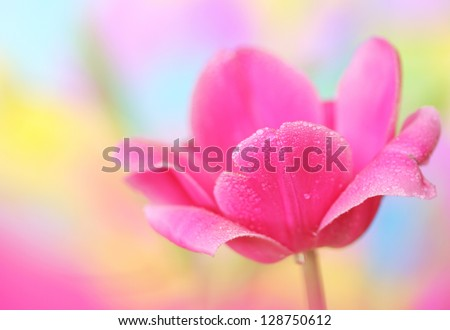 Close-up of tulip flower on colorful background. - stock photo