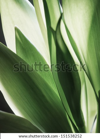 Close-up of tulip leaves - stock photo