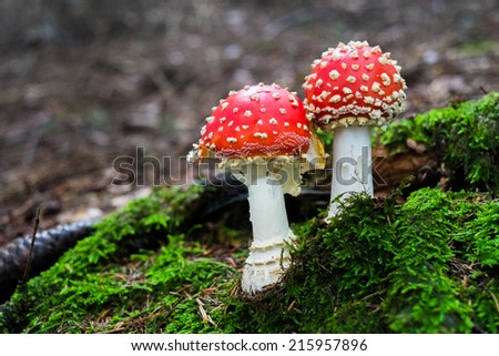 Close-up of two amanita muscaria mushroom in a forest in Italy - stock photo