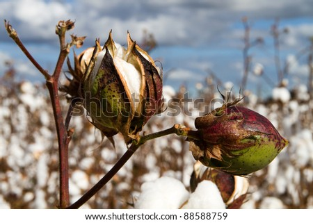 Close up of two cotton bolls growing on the stem in a field of cotton plants close to harvest time. - stock photo