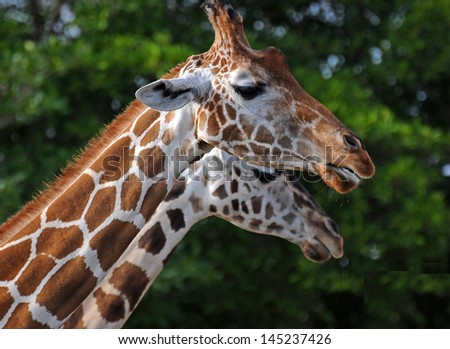 Close up of two giraffes against a green tree background