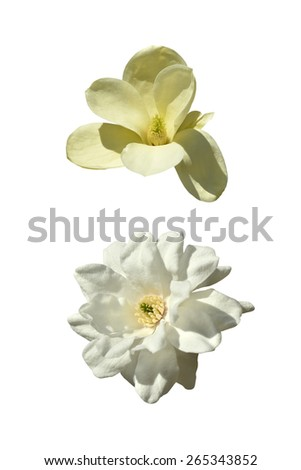 Close-up of two magnolia isolated on white background - stock photo