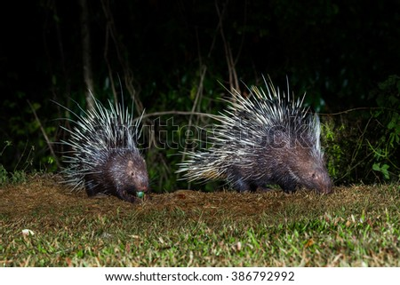 Close up of two nocturnal animals Malayan porcupine(Hystrix brachyura) in real nature at Kaengkracharn national park,Thailand - stock photo