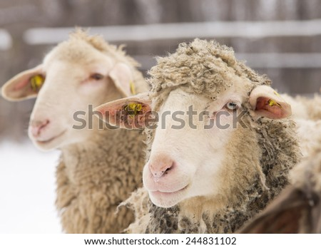 Close up of two sheep standing on snow on farm - stock photo