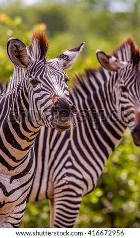 Close up of two wild African zebra - stock photo