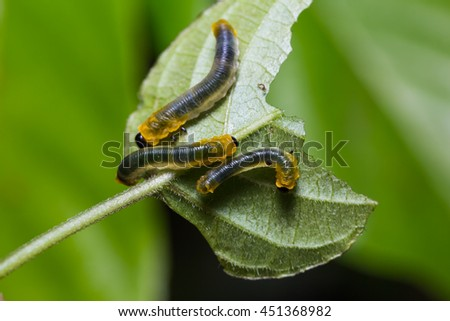 Close up of unidentified Sawfly larvae on their host plant leaf in nature