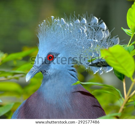 Close up of Victoria Crowned Pigeon, selective focus. - stock photo