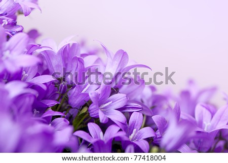Close-Up of violet colored Campanula Bellflowers - stock photo