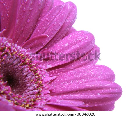Close up of violet Gerbera daisy with morning dew on petals, isolated on white. Contains clipping path. - stock photo
