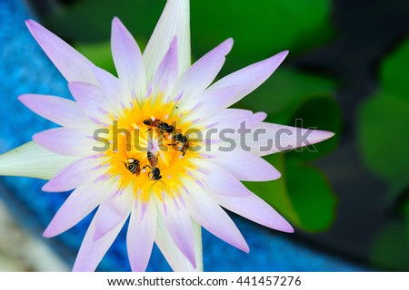 close up of water lily, Beautiful lotus blooming with bees. Macro photo - stock photo