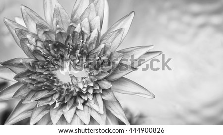 Close up of water lily. Black and white tone,  Beautiful lotus blooming with sun rays. Monochrome style - stock photo