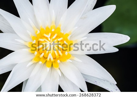 Close up of water lily or lotus - stock photo
