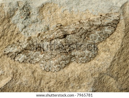 Close up of well-camouflaged moth on a rock - stock photo