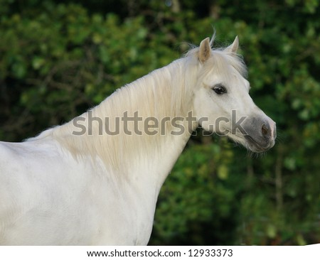 Close-up of welsh pony